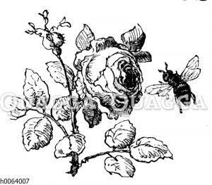 Rose wird von Biene angeflogen