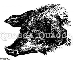 Kopf eines Hausschweins