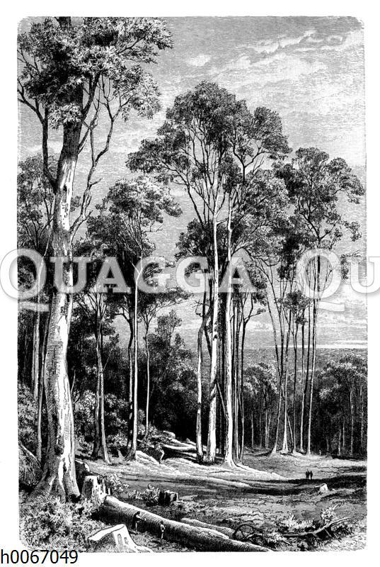 Eukalyptusbäume in Neuholland