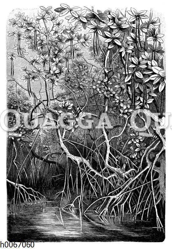 Mangroven: Stelz- und Säulenwurzeln