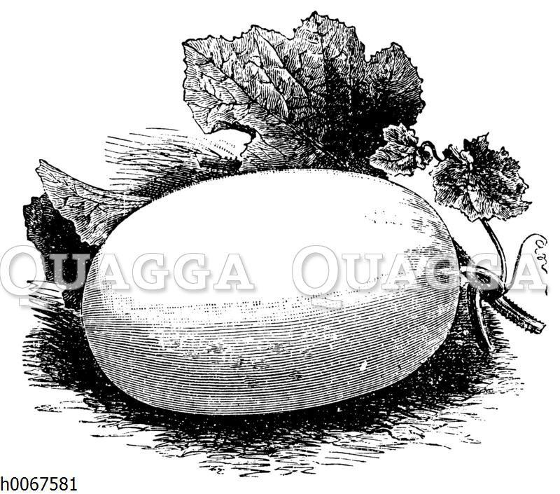 Grünfleischige Malteser Winter-Melone