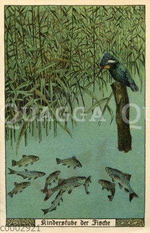 Eisvogel und junge Fische