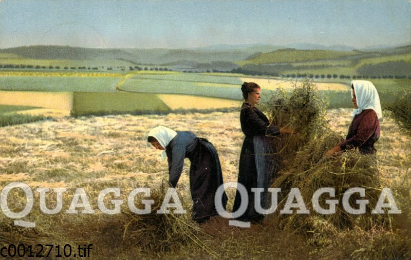 Frauen binden Garben auf dem Feld