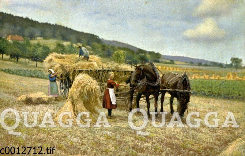 Getreideernte mit dem Pfedewagen
