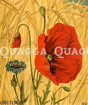 Mohn und Kornblume in einem Getreidefeld