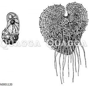 Wurmfarn: Keimende Spore (links) und Vorkeim (rechts)