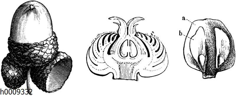Frucht der Traubeneiche mit drei Fruchtbechern (links)
