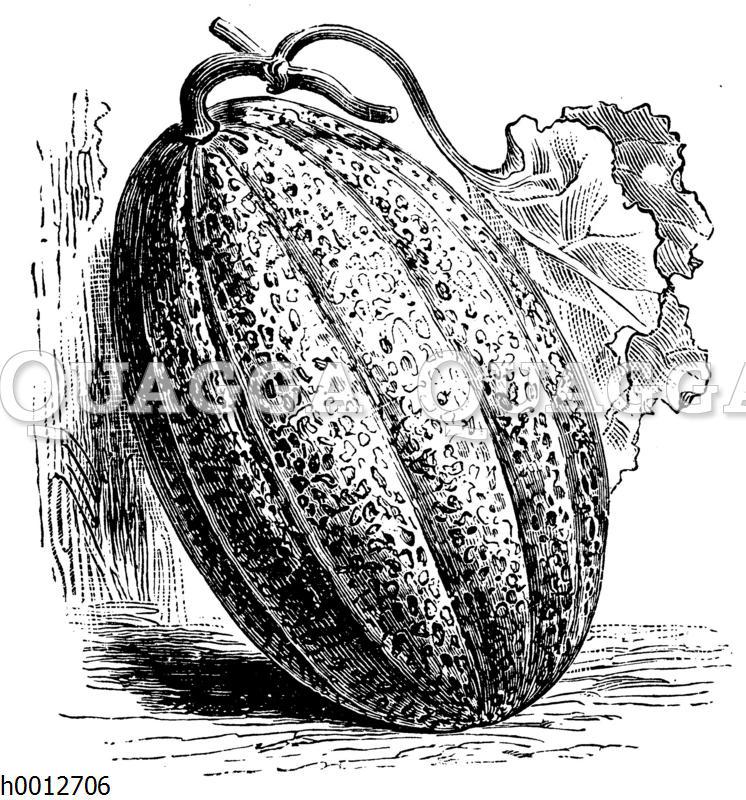 Zuckernetzmelone
