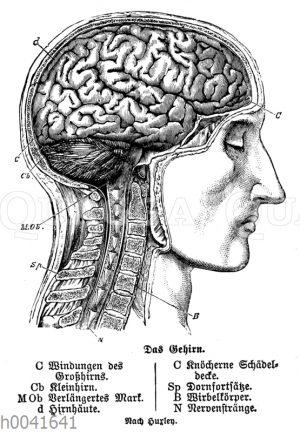 Mensch: Gehirn