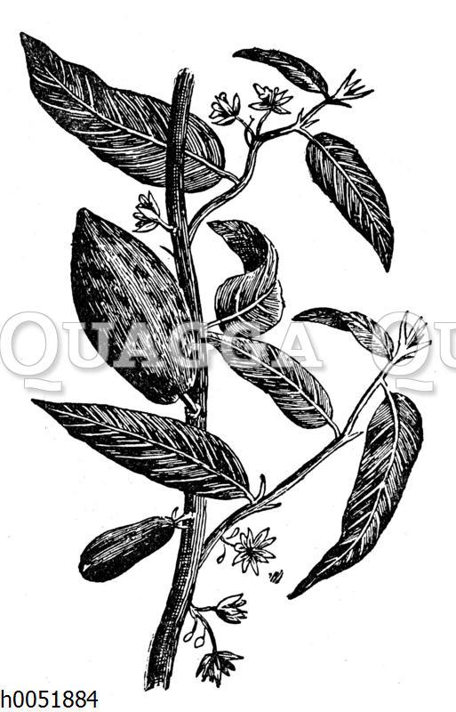 Kakaobaum: Zweig