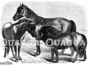 Pferderassen: Schwedisches Pony_ Shetlandpony