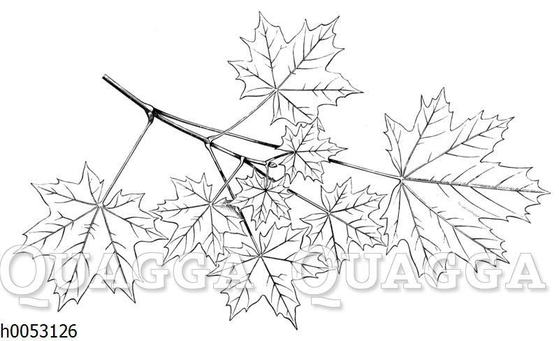 Spitzahorn: Blättermosaik
