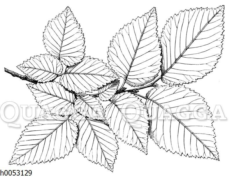 Ulme (Rüster): Blättermosaik