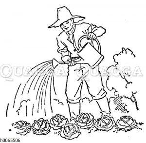 Gärtner gießt Salatköpfe mit einer Gießkanne