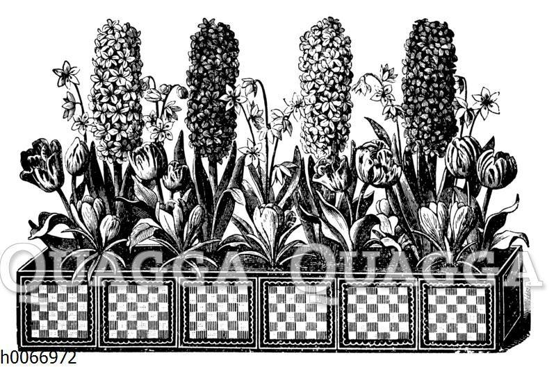 Blumenkasten mit Hyazinthen