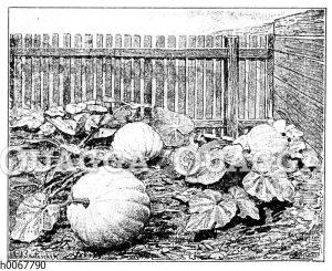 Gelber Riesen-Melonen-Speisekürbis