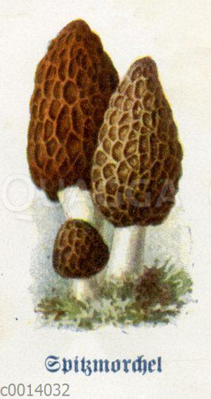 Spitzmorchel