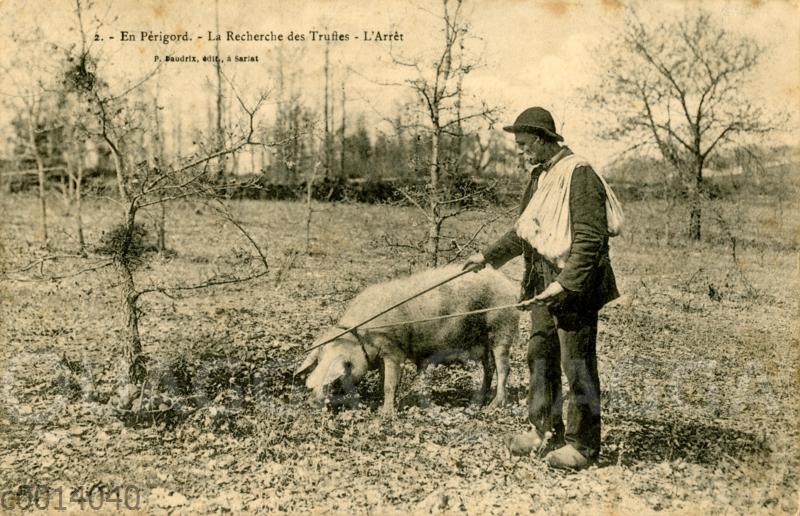 Trüffelsuche mit einem Schwein im Perigord