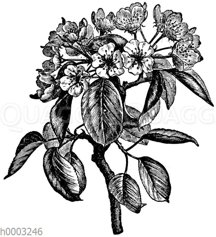 Birnbaum: Blüten