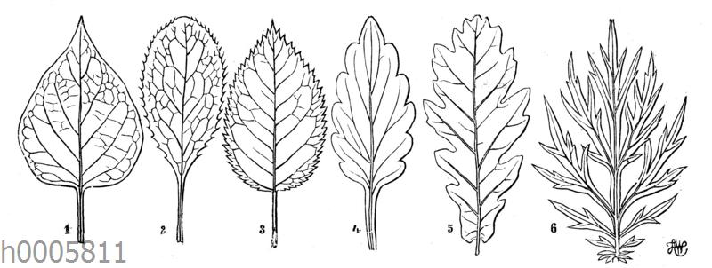 Blattformen: Flieder