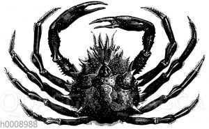 Spinnenkrabe (Mittelmeer)