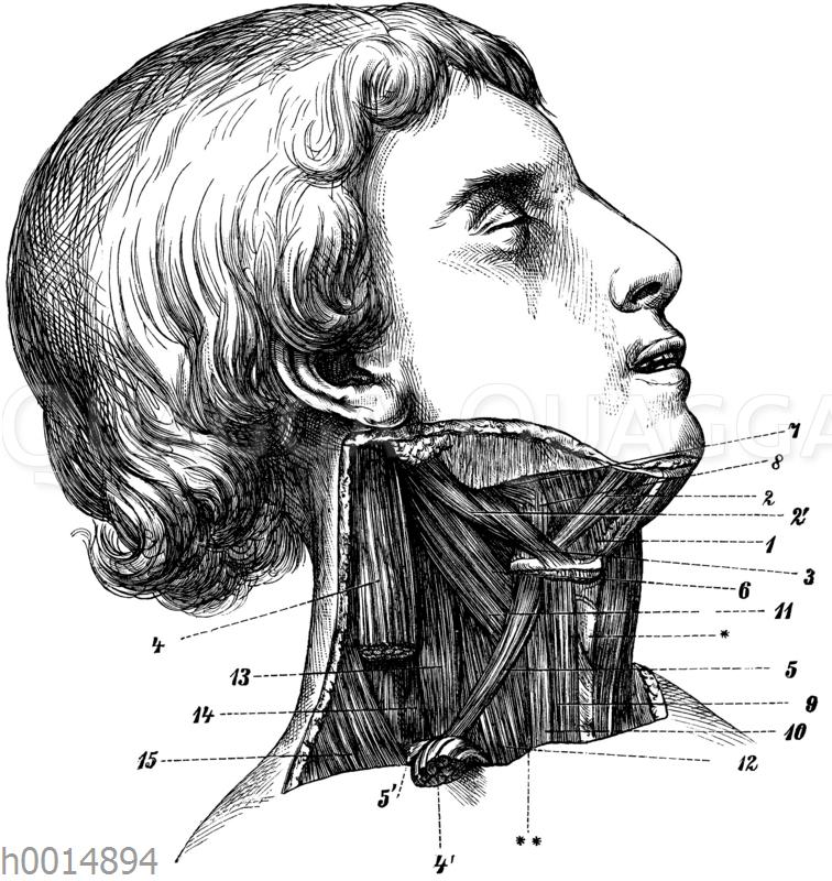 Halsmuskeln der rechten Körperseite