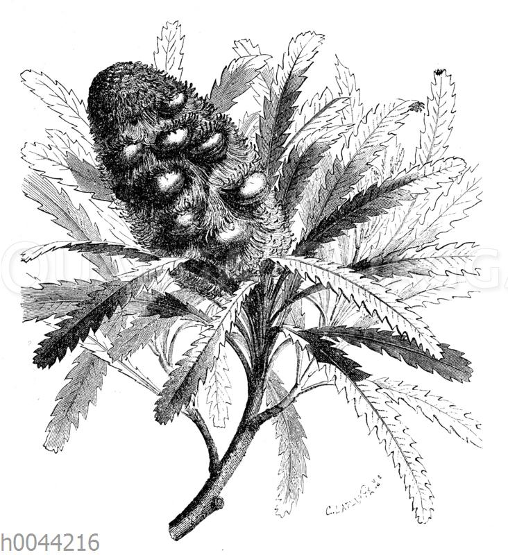 Rekonstruierter Banksia-Zweig