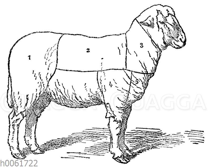 Fleischeinteilung beim Schaf
