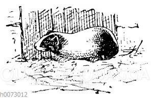 Meerschweinchen