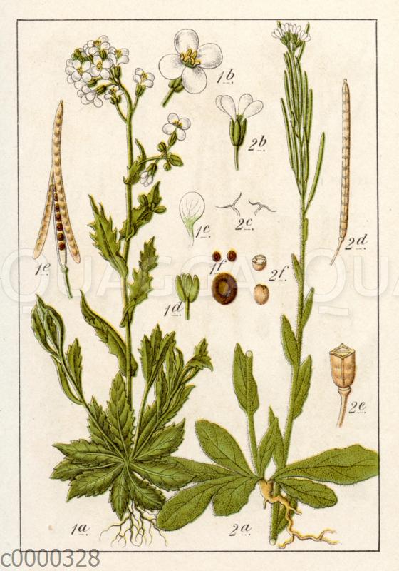 Alpen-Grützblume (links)