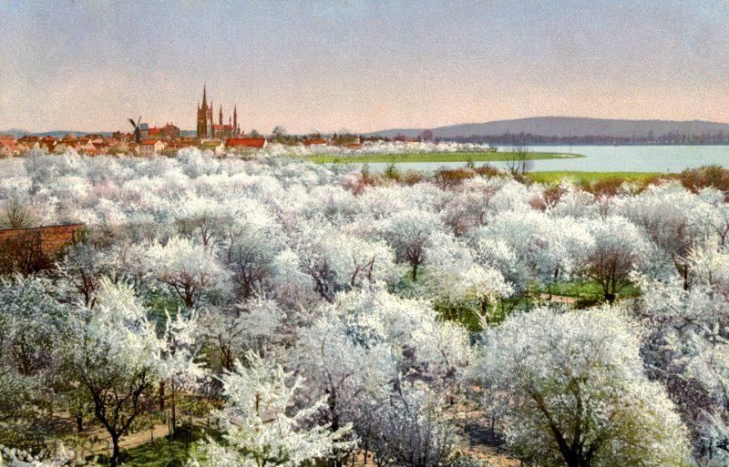 Blick auf Werder über blühende Obstbäume hinweg