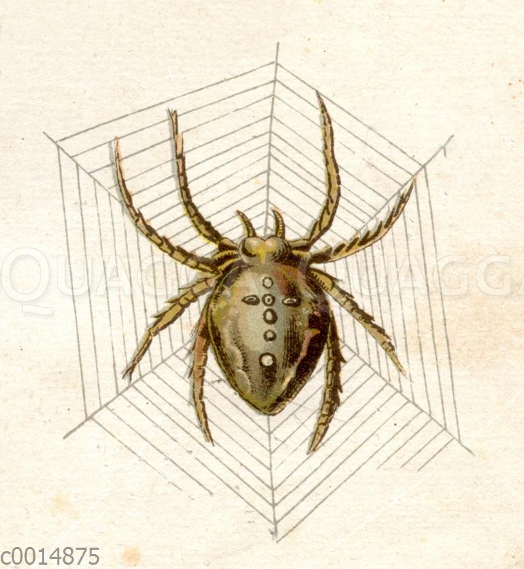 Kreuzspinne in ihrem Netz