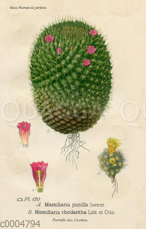 Mammillaria pusilla (A)