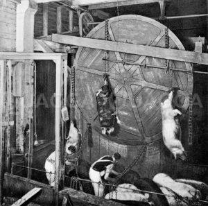 Beförderung der Schweine zur Schlachtstelle