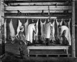 Das Aufschneiden und Ausnehmen der Schweine unter Aufsicht eines Staatsbeamten