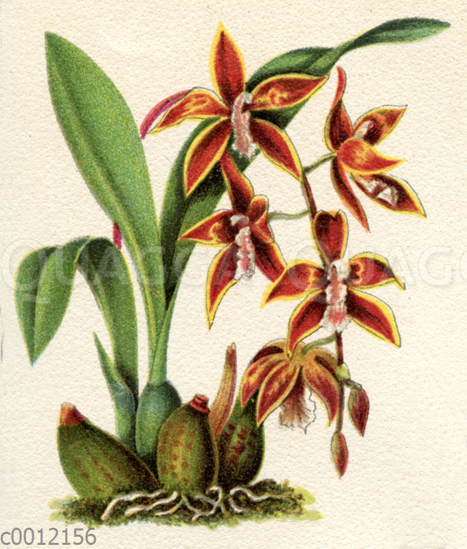 Odontoglossum radiatum;  Odontoglossum luteopurpureum