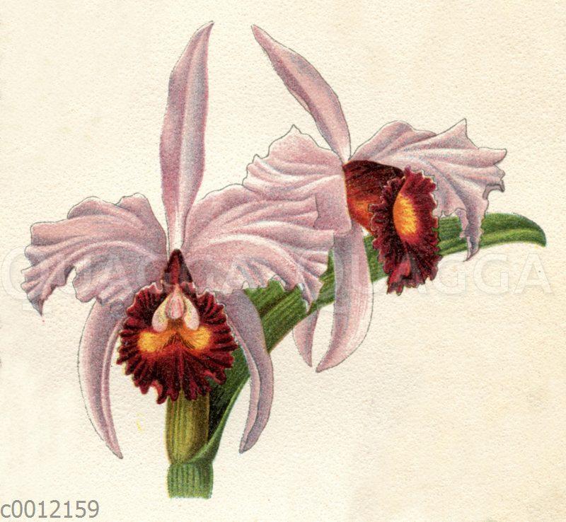 Cattleya triandra var. purpurata