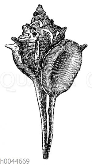 Purpurschnecke