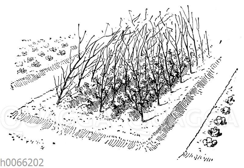 Stecken von Gartenerbsen an Reisern
