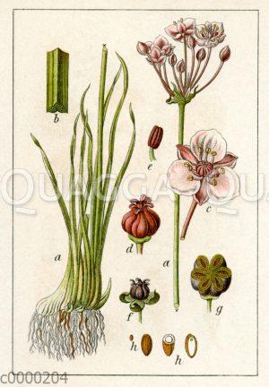 Blumenbinse