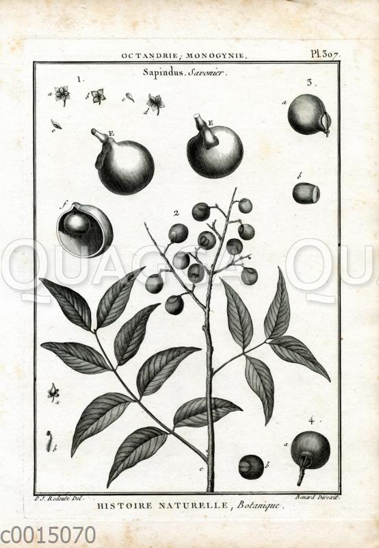 Waschnussbaum