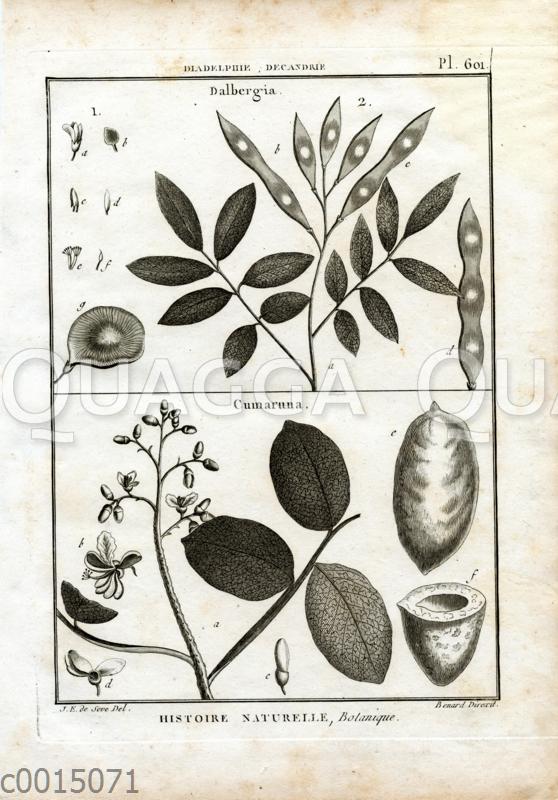 Dalbergia (Palisander) und Cumaruna  (Tonkabohnenbaum)