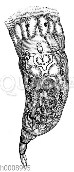 Eosophora caribaea