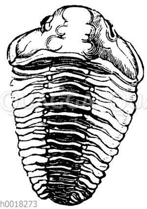 Asaphus buchii