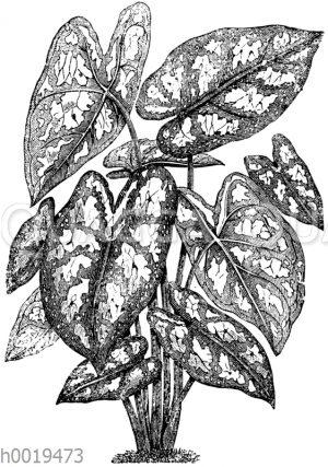 Caladium argyrites