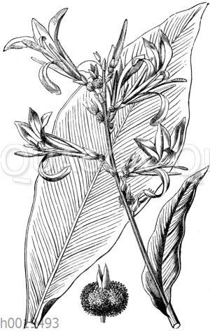 Indisches Blumenrohr