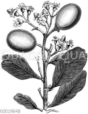Kokospflaume