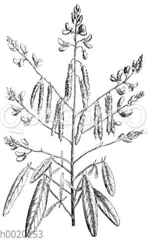 Telegraphenpflanze