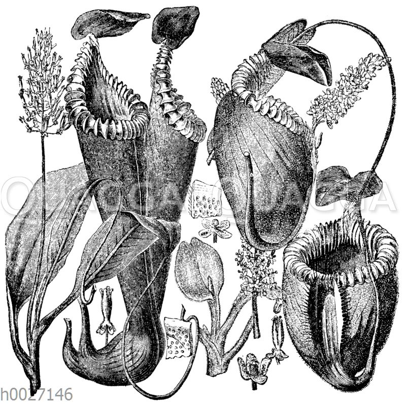 Kannenpflanzen