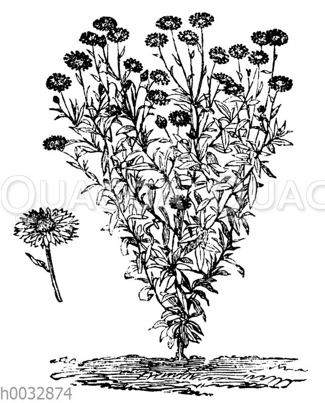 Garten-Strohblume
